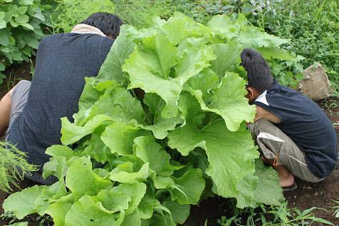家庭菜園 無農薬野菜 ごぼう