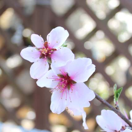 アーモンドの花 家庭菜園 ガーデニング