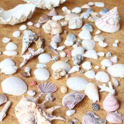 貝殻 沖縄の貝