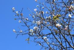 冬の桜 12月の桜 桜
