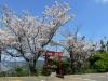 若宮稲荷様と桜
