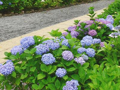 2012年風頭公園 紫陽花1