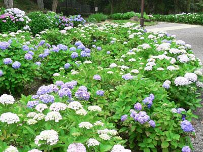 2012年風頭公園 紫陽花2