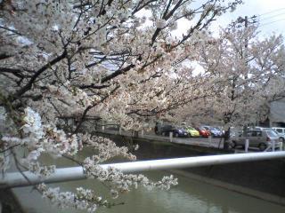 福島江の桜(2006.4.21)