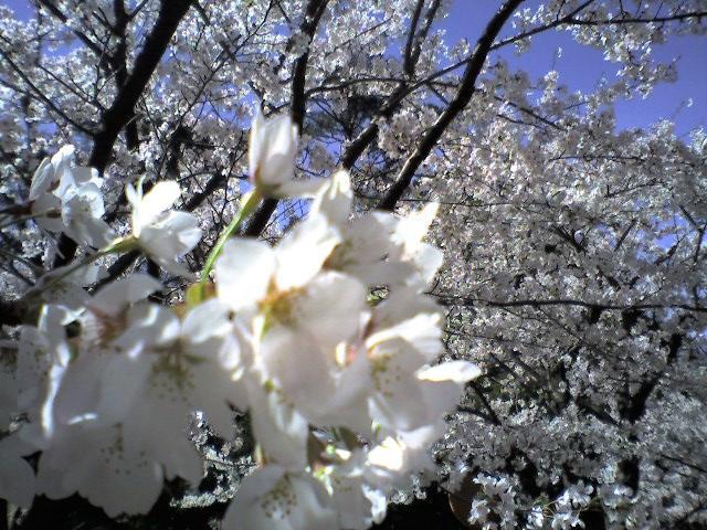 桜(弥彦公園、2006.4.22)