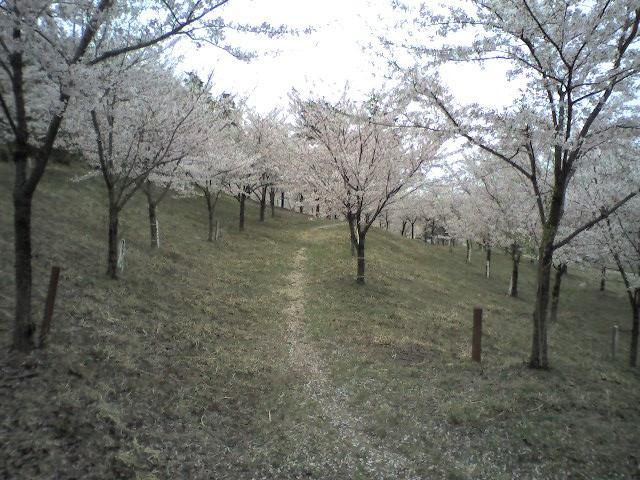 村松公園(2006.4.23 - 05 桜林)