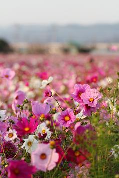 1000万本の秋桜の絨毯は圧巻!