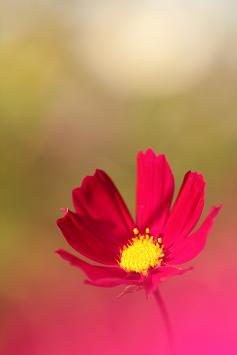 ちょっと濃いピンクの花弁はビロードのよう・・