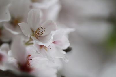 やっぱり良いですよね  「 桜 」