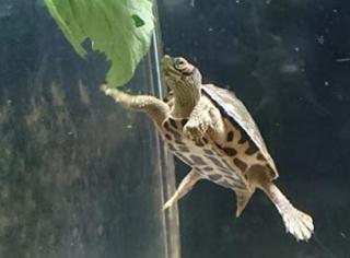 天王寺動物園 インドセタカガメ