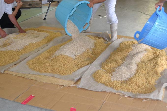 蒸しあがった玄米を冷ましながら麹を混ぜる
