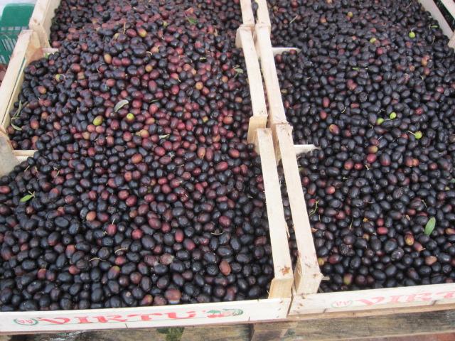 隣のリグーリア州では調度今がオリーブの収穫時期。名産であるタジャースカ種。家庭での塩付け用。
