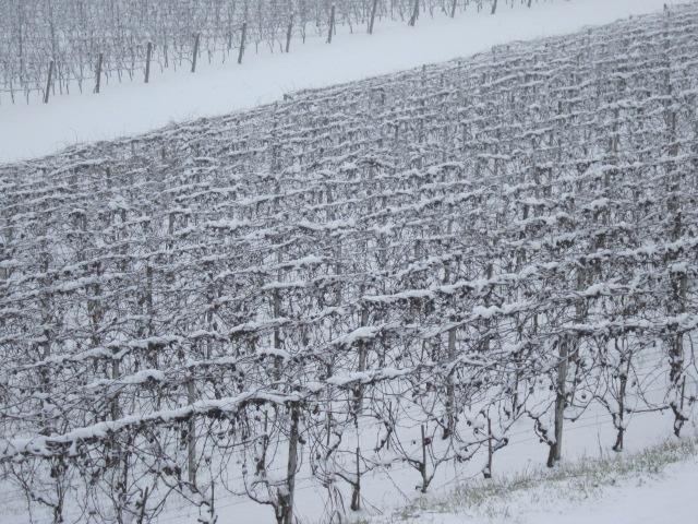 ブドウ畑に積もった雪