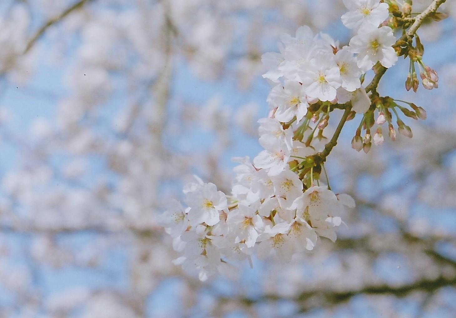 Sakura2014_0008.jpg