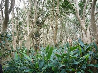 アオノクマタケランが生い茂った椿原生林
