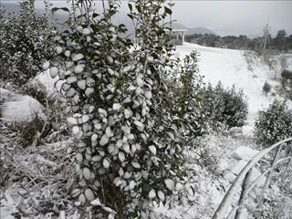 椿の葉に雪