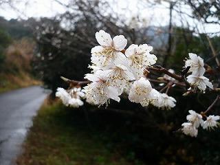猪之木の桜