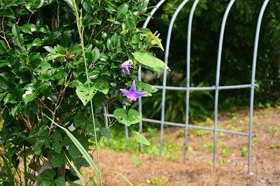 藤棚に咲いていた花