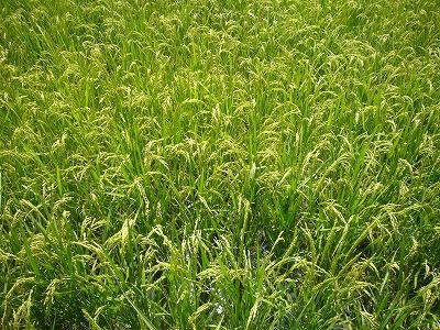 早期栽培の稲