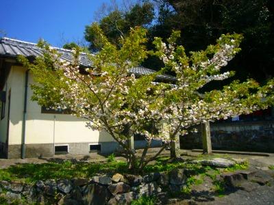 2017・4観音堂桜