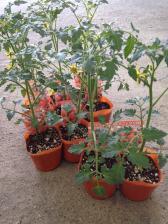 トマトポット苗