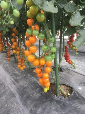 オレンジ千果圃場