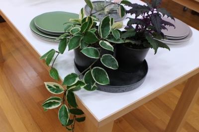 ホヤ 観葉植物
