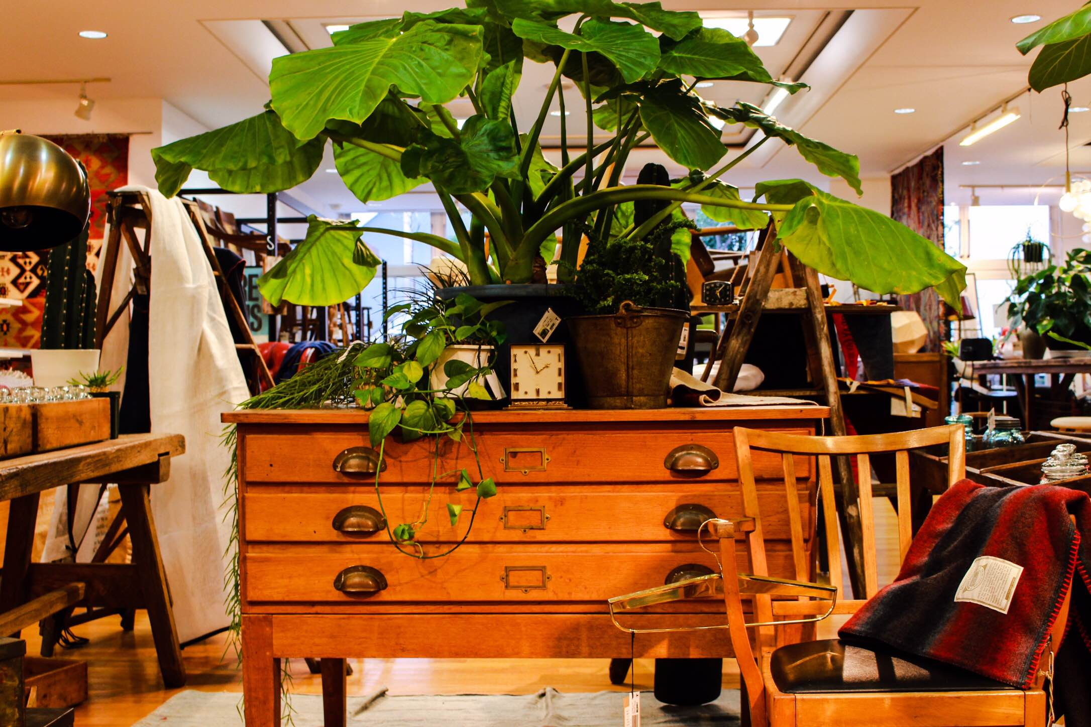 ヴィンテージ家具 観葉植物 クワズイモ