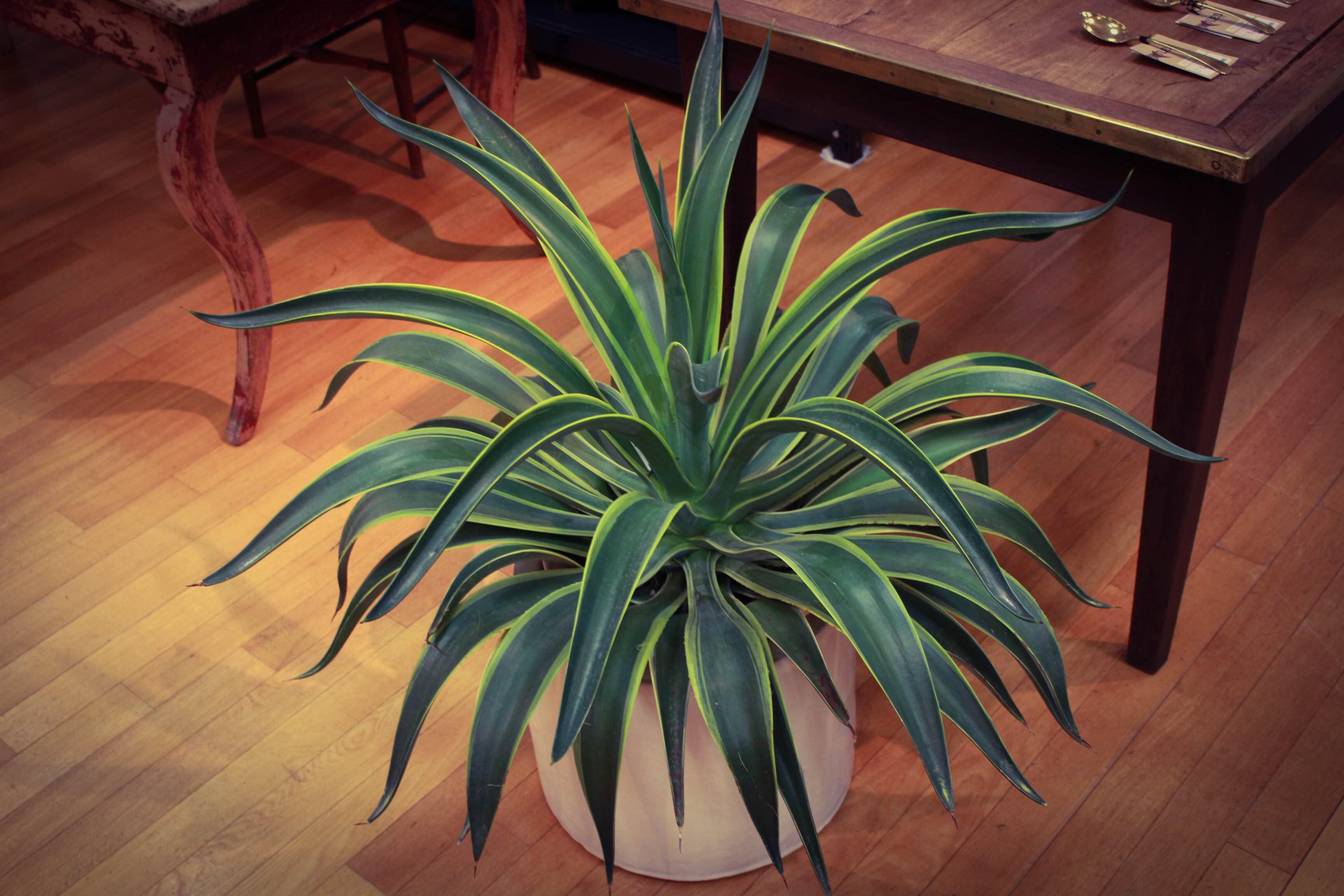 観葉植物 アガベ