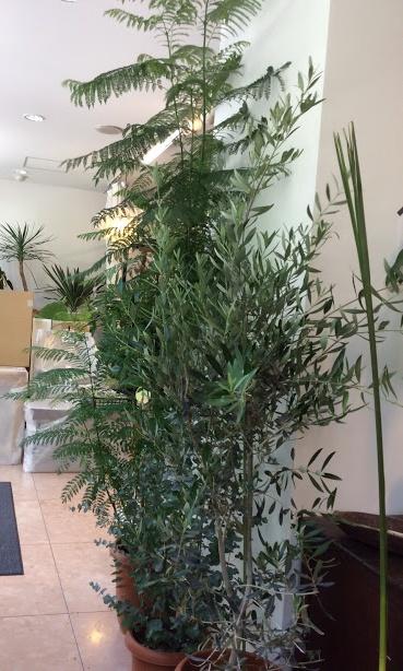 観葉植物 ジャカランダ