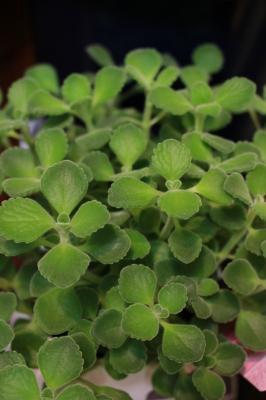 観葉植物 アロマティカス