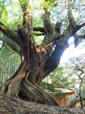 巨大シダジイ(椎の木)
