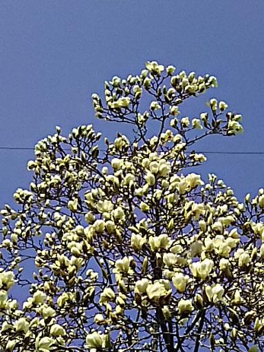 コブシ開花