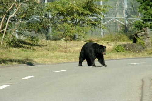 富士サファリパークサファリゾーンの中のクマゾーン。まずは黒熊