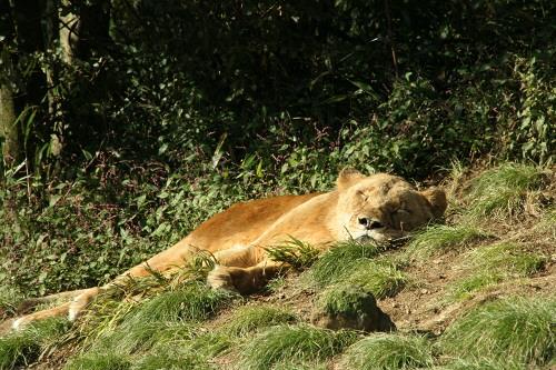 富士サファリパークライオンのお昼寝