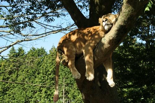 富士サファリパークサファリゾーン(ライオンゾーン)お昼寝中のライオン