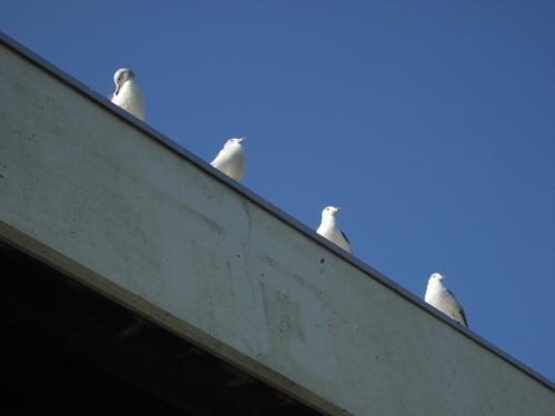 海鳥カモメ鴎かもめ水辺の鳥水鳥
