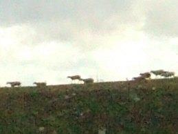 風車の町ラマンチャ地方・コンスエグラからマドリッドマドリードへ戻る途中に高速道路脇に見えた放牧地牛の群れ山羊の群れヤギの群れ?