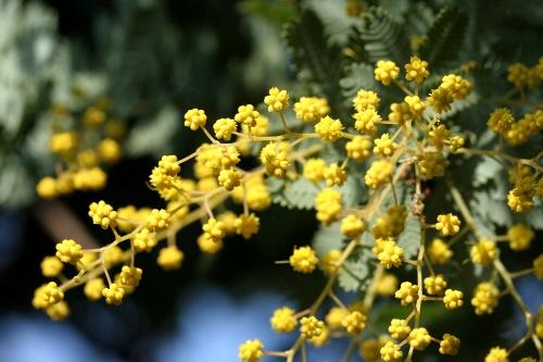 物理系?化学の授業系?理科分子構造模型分子模型原子模型ではなくアカシアの花つぼみか?ミモザの花