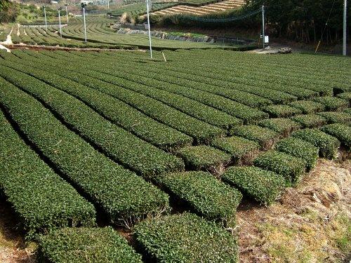 お茶畑今年の八十八夜は普通に5月2日茶摘みはまだ先茶畑写真画像