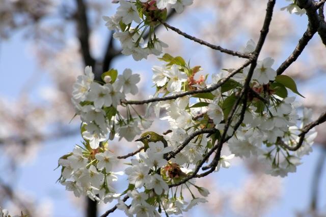 桜の木にメジロサクラの花の蜜を吸うメジロシグマレンズで野鳥写真桜花画像使用感想