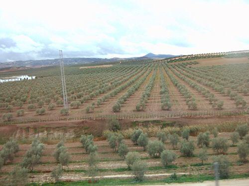 EspañaエスパーニャSPAINセビリヤSEVILLAセビリアセビージャセビーリャからコスタ・デル・ソル、ミハスへCOSTA DEL SOL Mijasオリーブ畑