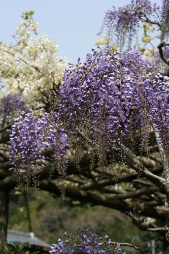 藤 (ふじ)フジ棚紫色の花藤の花写真画像花の図鑑