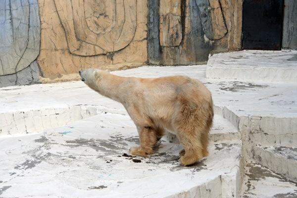 ピンキーホッキョクグマ白熊シロクマしろくま北極くまホッキョククマ
