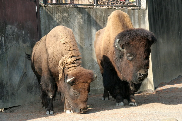 日本平動物園アメリカバイソン