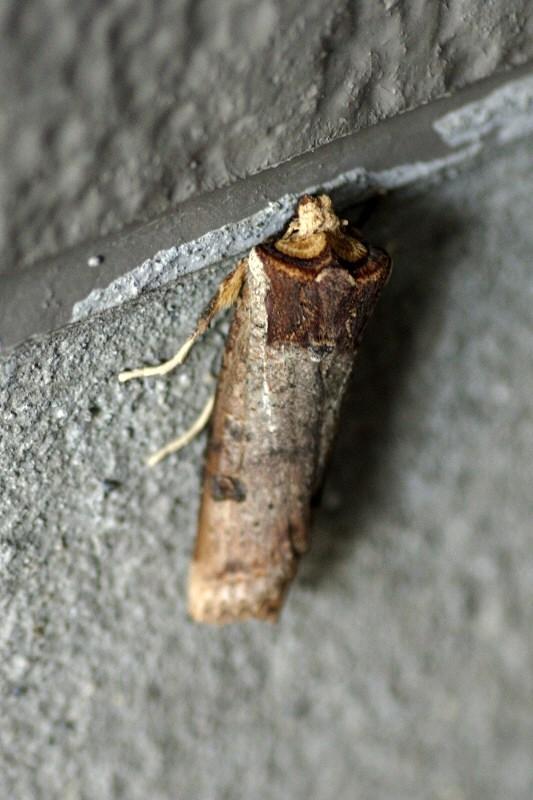 昆虫図鑑昆虫の名前木の枝の様な虫