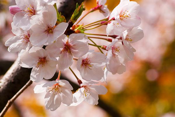 桜は名所のんよりも近所のんがイイね。