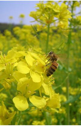 ミツバチと菜の花