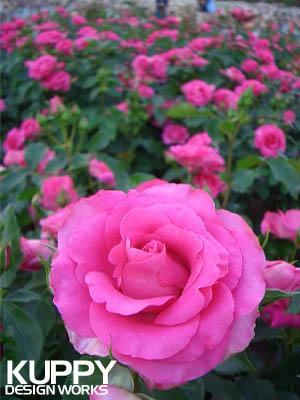 浜寺公園のバラ1