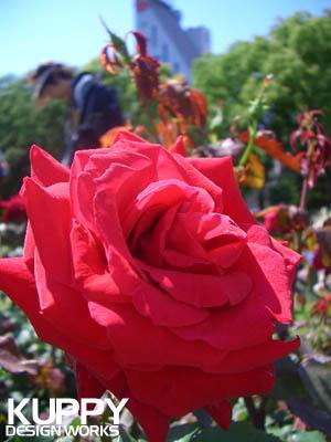 靱公園のバラ2